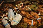 blue lobster in tank